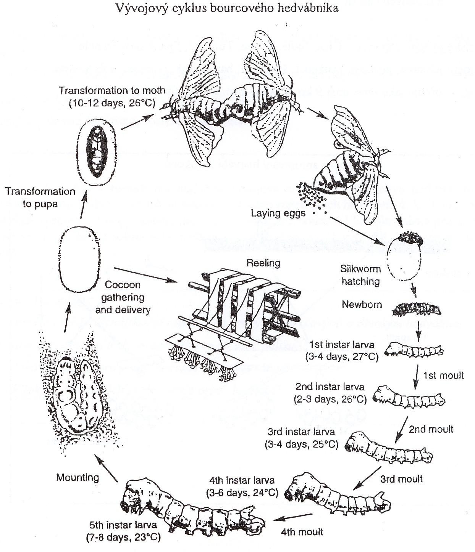 vývojový cyklus bource morušového