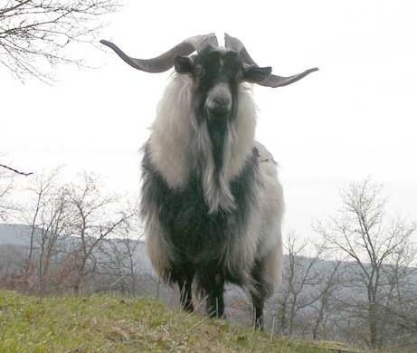koza kašmírská